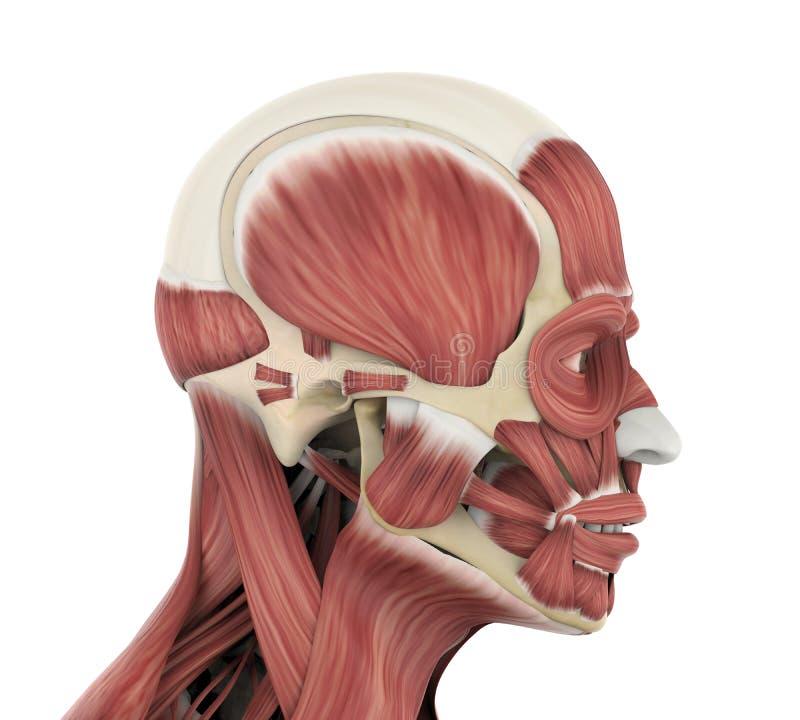 Ludzka Twarzowych mięśni anatomia ilustracja wektor