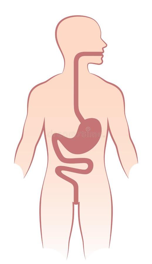 Ludzki żołądek royalty ilustracja
