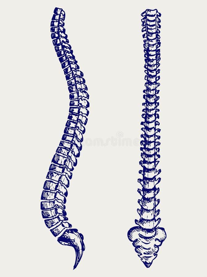 Ludzki anatomia kręgosłup ilustracji
