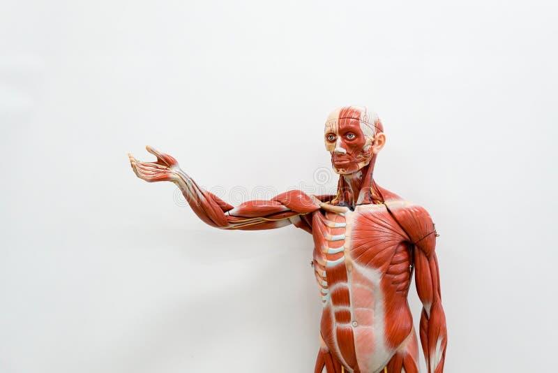 Ludzki anatomia model fotografia royalty free