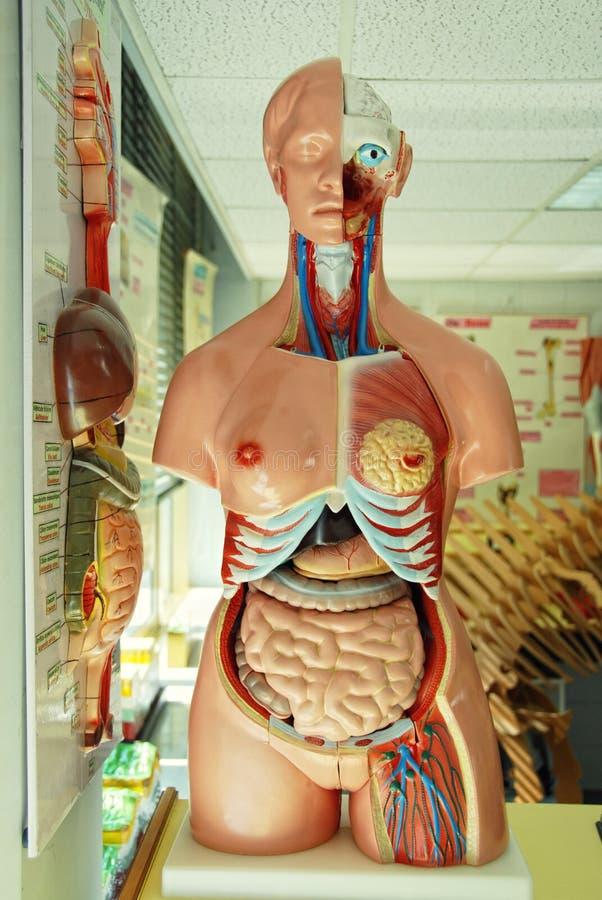 Ludzki anatomia model w zajęcia z biologii obraz stock