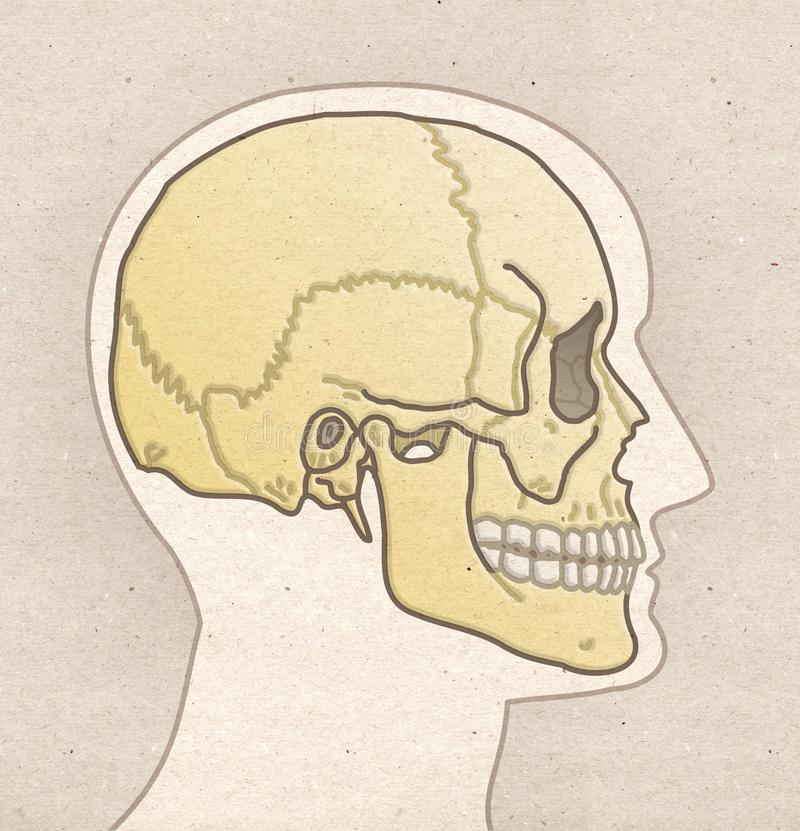 Ludzki anatomia rysunek - Profilowa głowa z czaszką royalty ilustracja