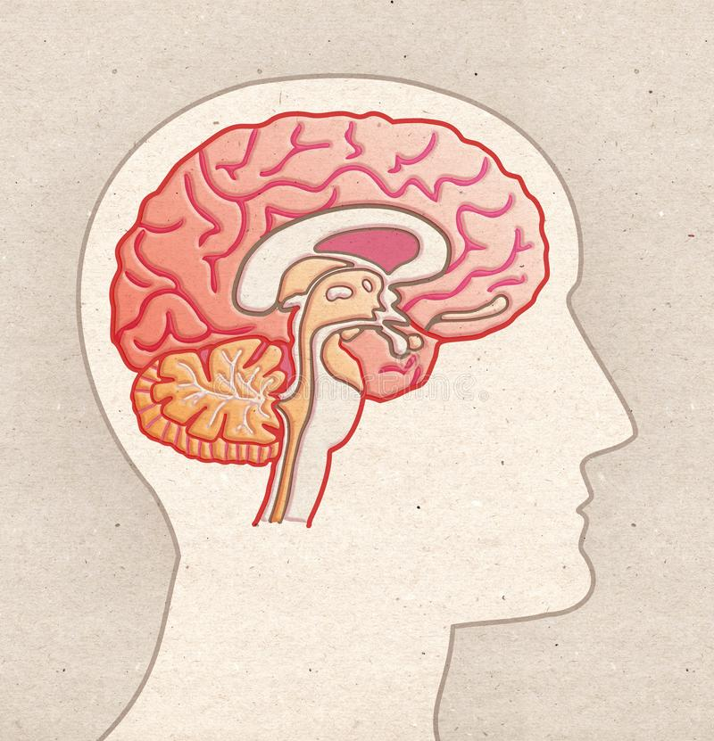 Ludzki anatomia rysunek - Profilowa głowa z MÓŻDŻKOWĄ Sagitalną sekcją royalty ilustracja
