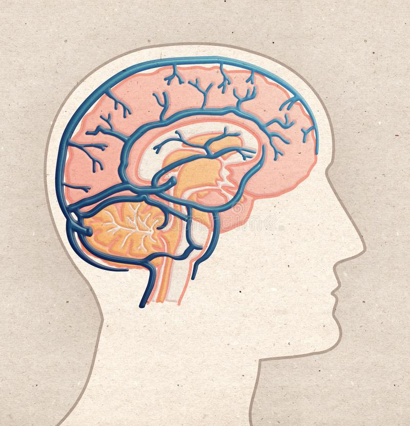 Ludzki anatomia rysunek - Profilowa głowa z MÓŻDŻKOWYMI żyłami royalty ilustracja