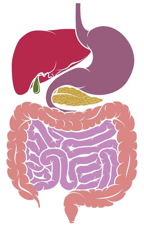 Ludzki anatomia Trawiennego systemu obszaru diagram ilustracji