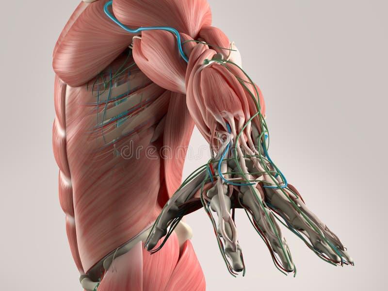 Ludzki anatomia widok półpostać i ręka royalty ilustracja