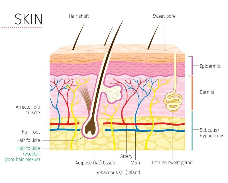 Ludzki anatomii, skóry I włosy diagram, ilustracji