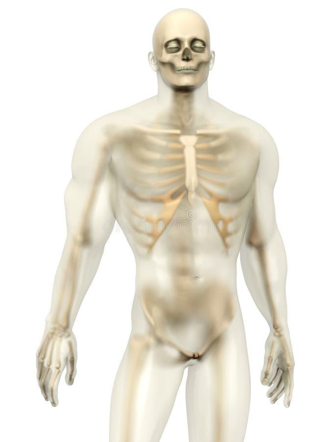 Ludzki anatomii unaocznienie - kościec w semi przejrzystym Bod ilustracja wektor