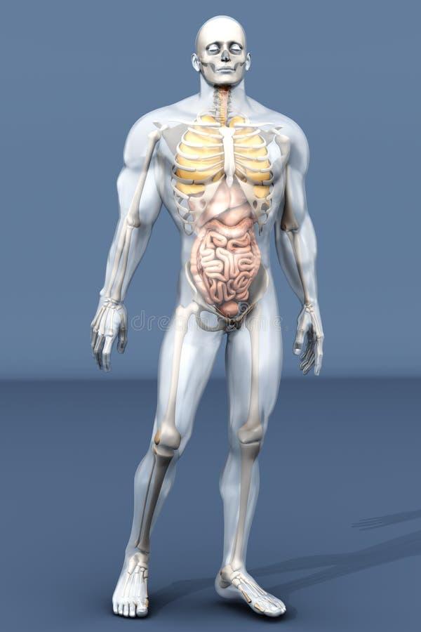 Ludzki anatomii unaocznienie - Wewnętrzni organy ilustracja wektor