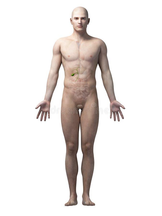 Ludzki gallbladder royalty ilustracja