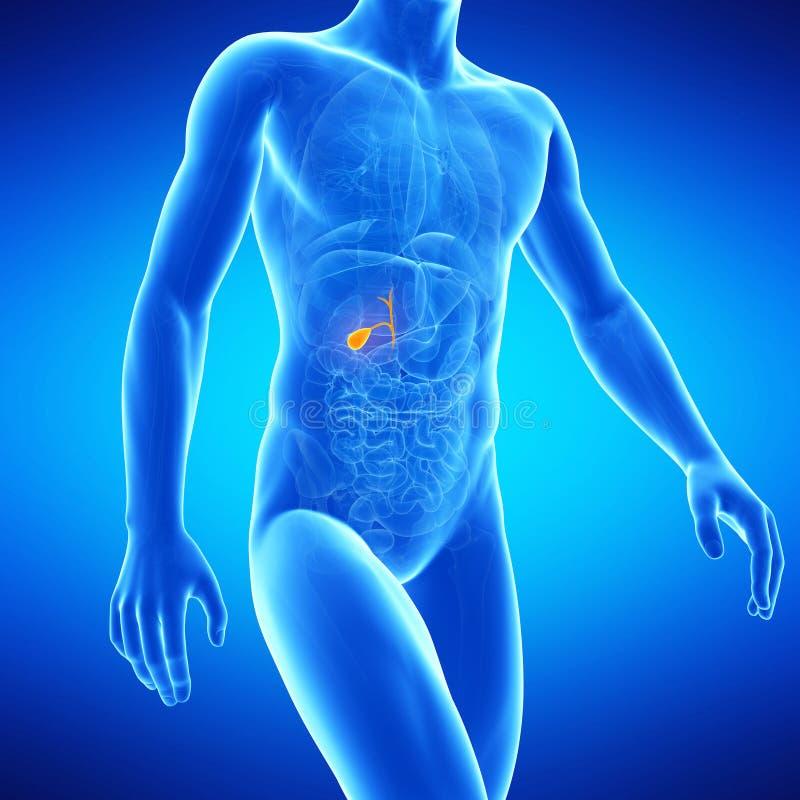 Ludzki gallbladder ilustracja wektor