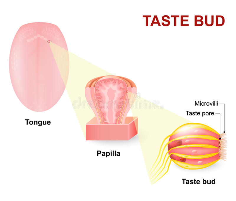 Ludzki jęzor, Lingual papillae i tastebud, ilustracja wektor