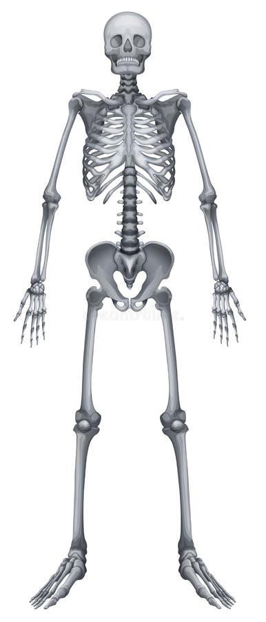 Ludzki kośćcowy system ilustracja wektor
