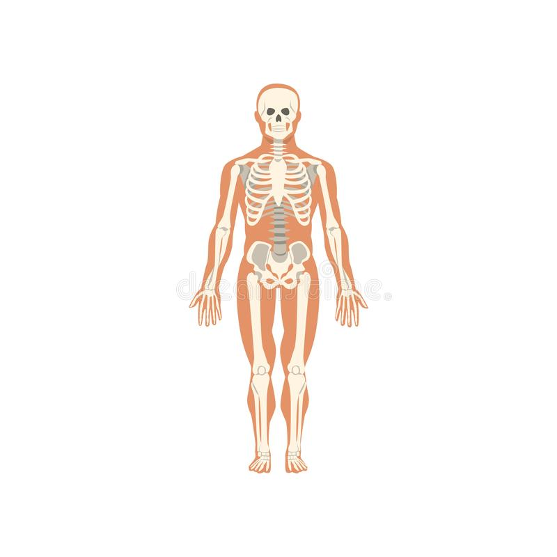 Ludzki kośćcowy system, anatomia ciało ludzkie wektorowa ilustracja na białym tle ilustracji