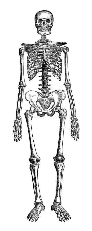 Ludzki kościec ilustracja wektor