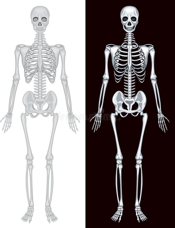 Ludzki kościec w białym i czarnym tle royalty ilustracja