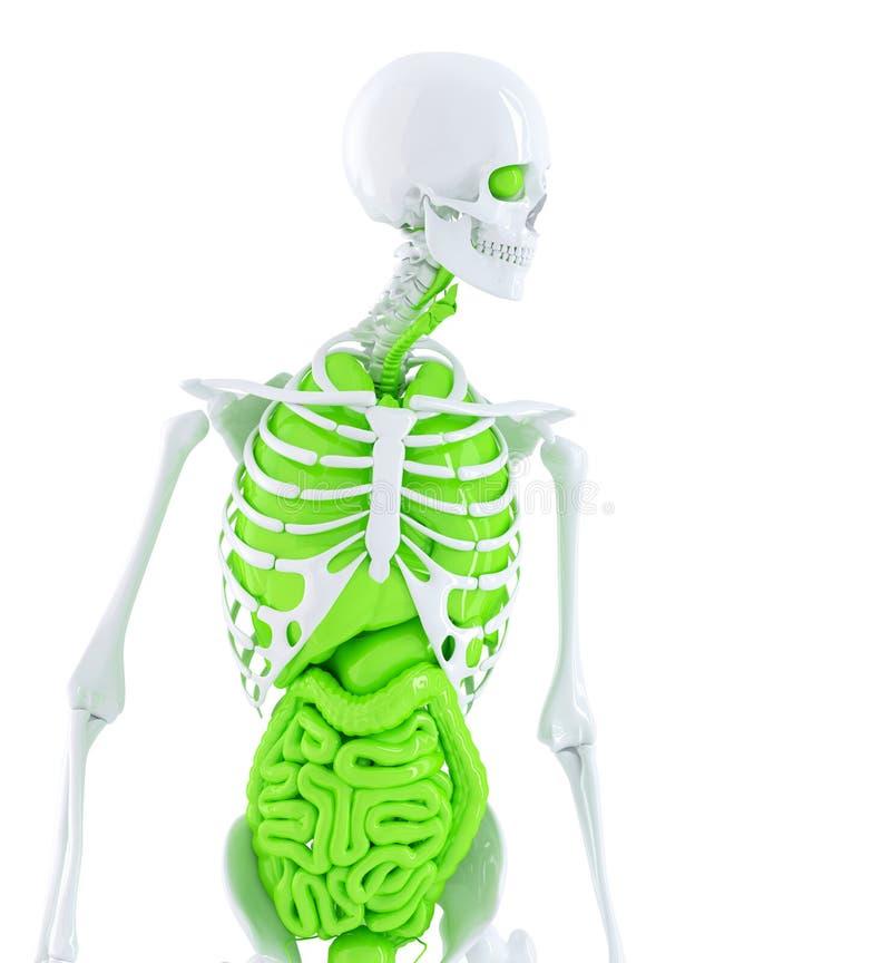 Ludzki kościec z wewnętrznymi organami odosobniony Zawiera ścinek ścieżkę ilustracji