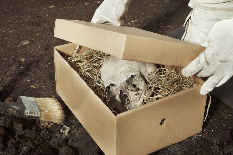 Ludzki kościec znajdujący i pakujący archeologiem na lokaci - czaszka - fotografia royalty free