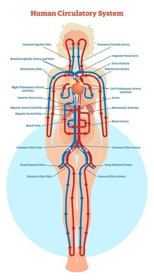 Ludzki Krążeniowego systemu wektorowy ilustracyjny diagram, naczynia krwionośne spiskuje ilustracji