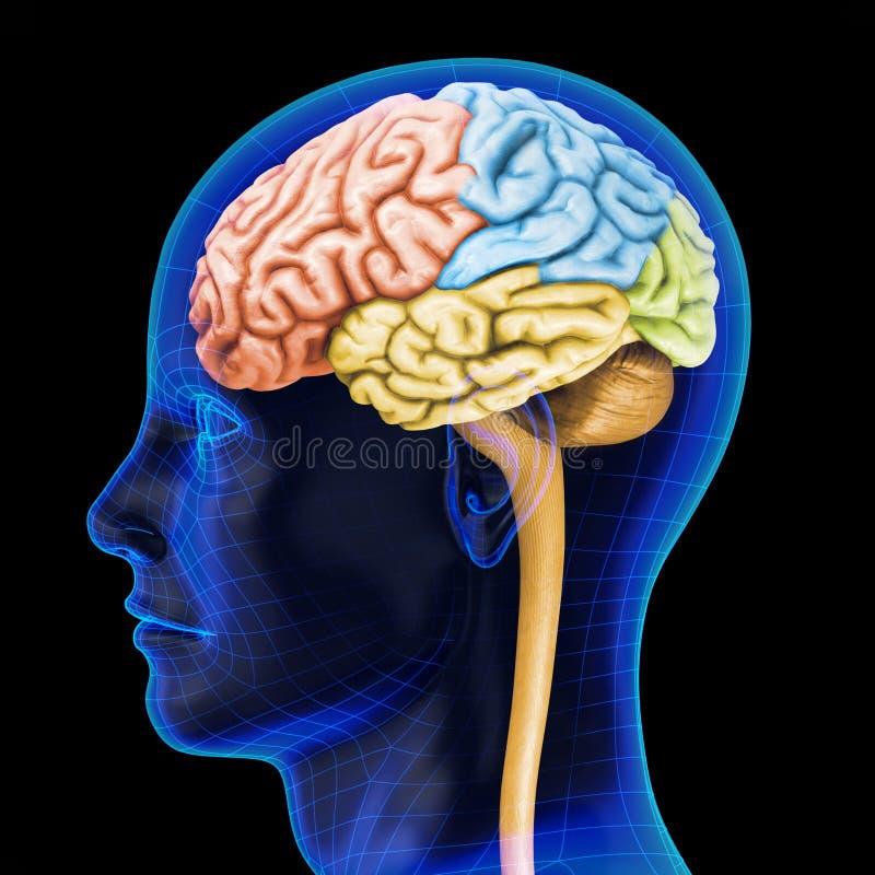 Ludzki mózg ilustracji