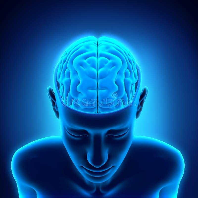 Ludzki Mózg anatomia royalty ilustracja