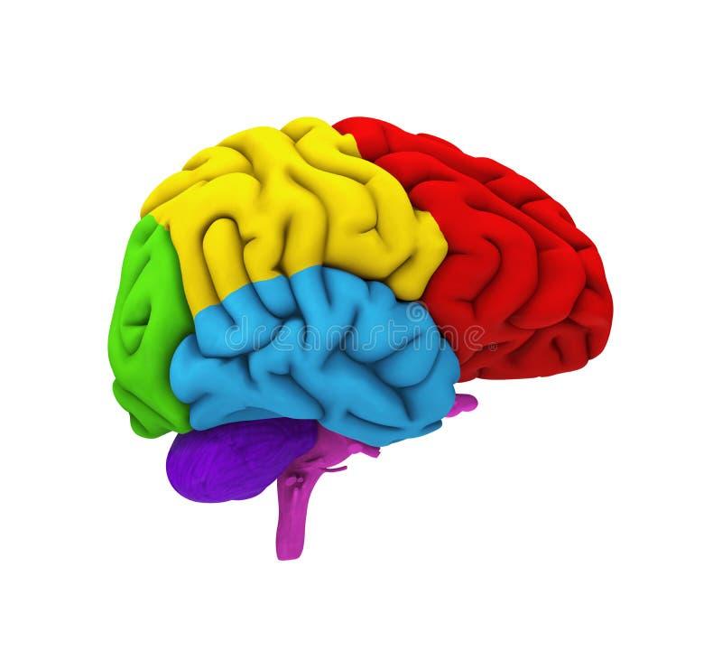 Ludzki Mózg anatomia ilustracja wektor
