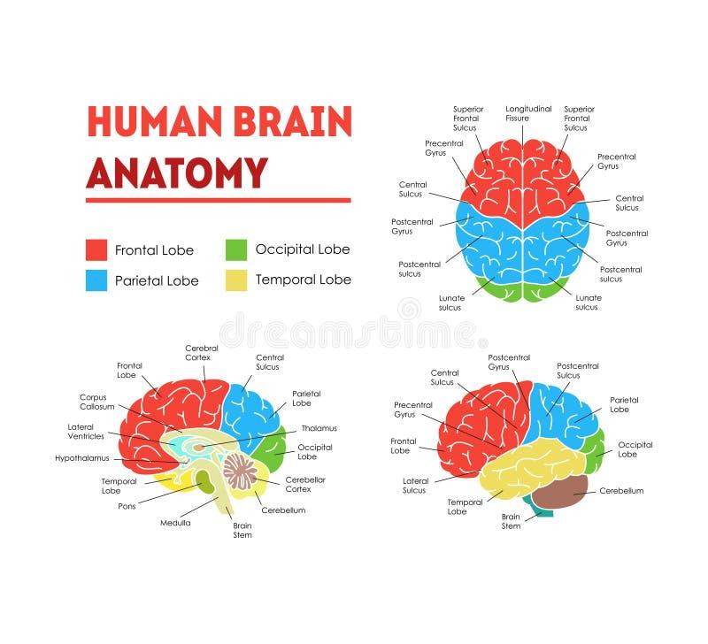 Ludzki Mózg anatomii karty plakat wektor ilustracja wektor