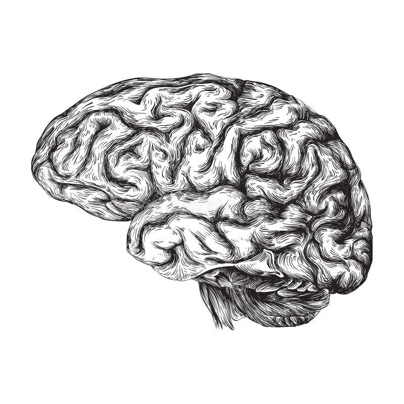 Ludzki mózg - czarny i biały ilustracja royalty ilustracja