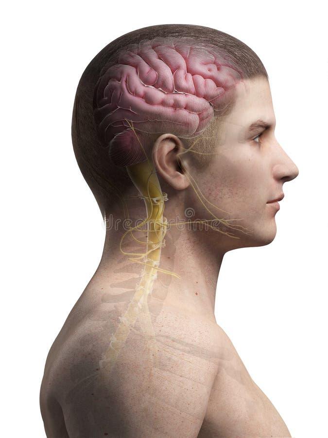 Ludzki mózg i nerwy royalty ilustracja