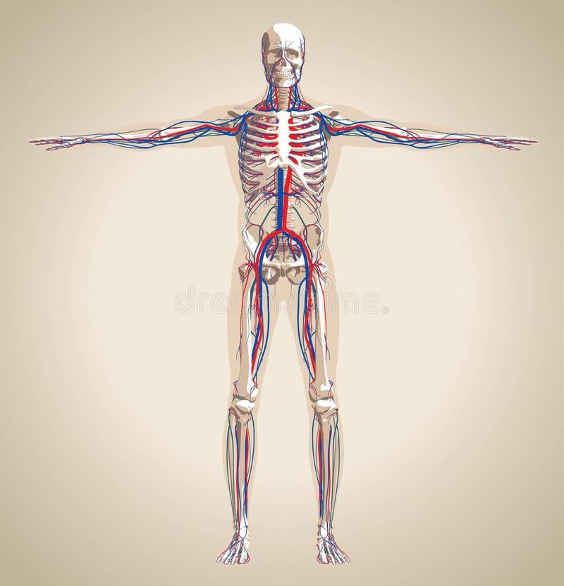 Ludzki (męski) cyrkulacja układ nerwowy i royalty ilustracja