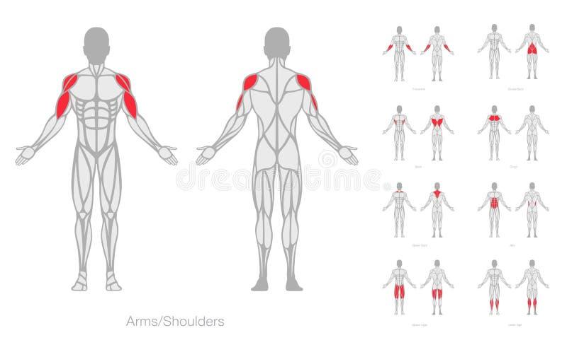 Ludzki mięsień anatomii modela wektor obraz royalty free