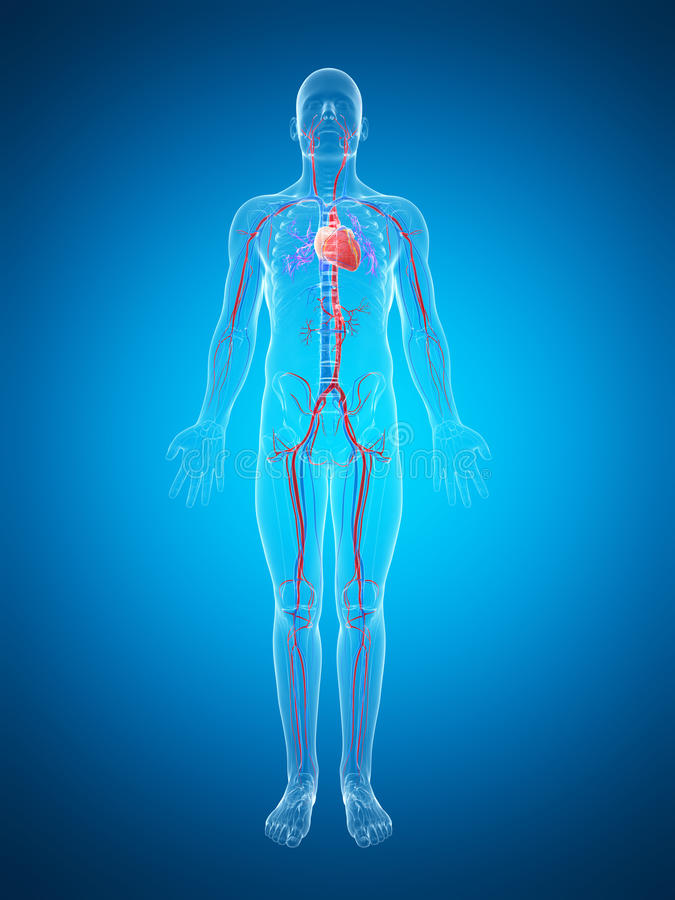 Download Ludzki naczyniasty system ilustracji. Ilustracja złożonej z zdrowy - 28962498