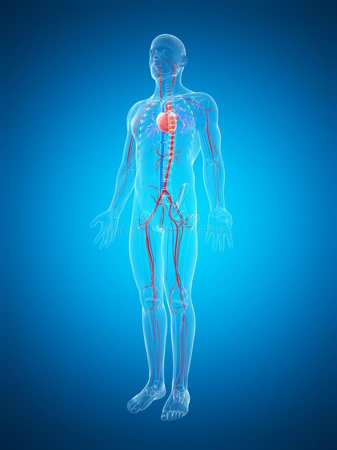 Download Ludzki naczyniasty system ilustracji. Ilustracja złożonej z anatomiczny - 28962502