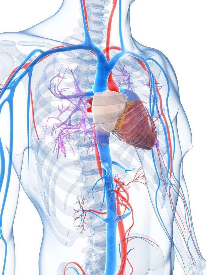 Download Ludzki naczyniasty system ilustracji. Ilustracja złożonej z ciało - 28962541