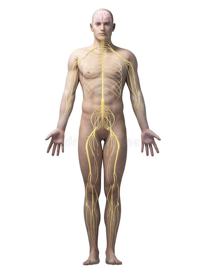 Ludzki nerwu system ilustracja wektor