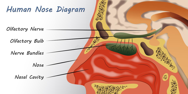 Ludzki nosa diagram ilustracja wektor