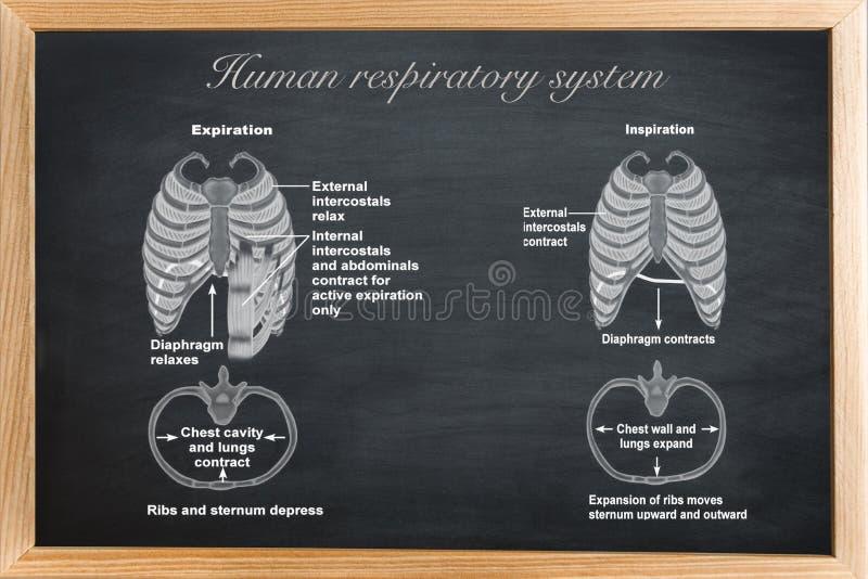 Ludzki oddechowy system ilustracji