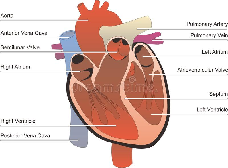 ludzki organ obrazy stock