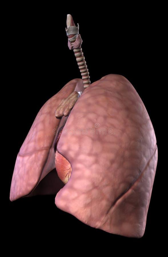 Ludzki płucny i sercowy system royalty ilustracja