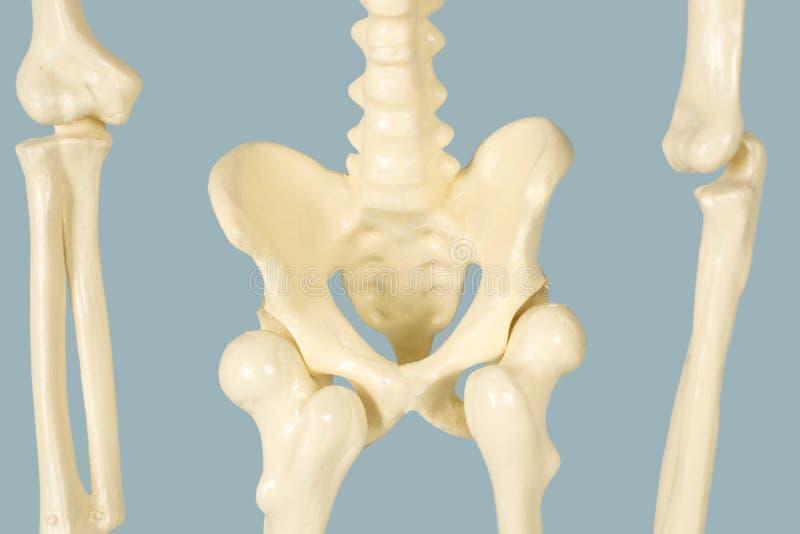Ludzki pelvis kościec z kręgosłupem fotografia stock