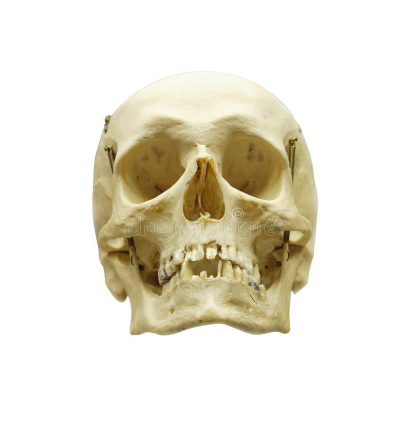 ludzki scull zdjęcie stock