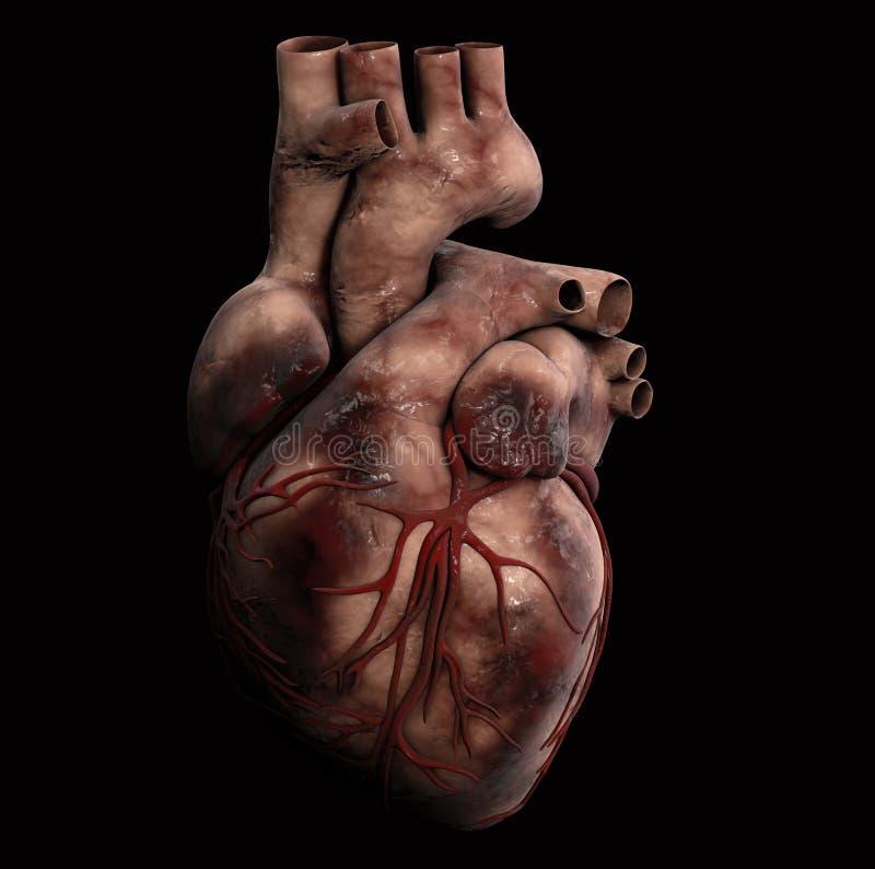 Ludzki serce - anatomia Ludzka serca 3d ilustracja royalty ilustracja