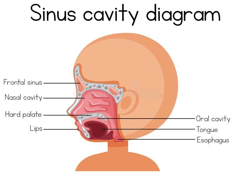Ludzki Sinus zagłębienia diagram ilustracji
