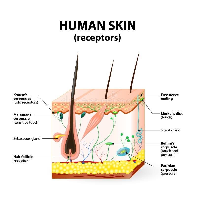 Ludzki skóry warstwy wektoru przekrój poprzeczny royalty ilustracja