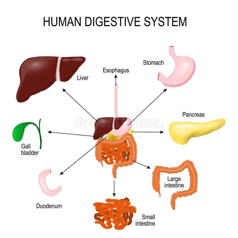ludzki system trawienny royalty ilustracja