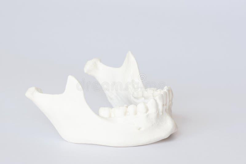 Ludzki szczęki kości model na białym tle obraz royalty free