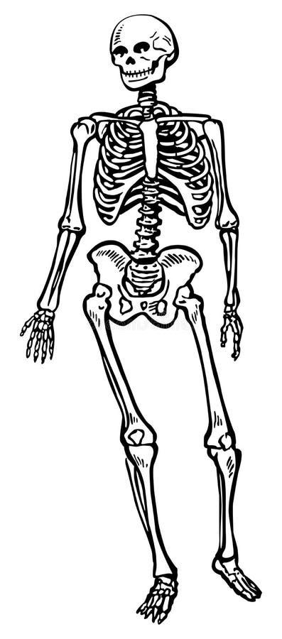 ludzki szkielet ilustracja wektor