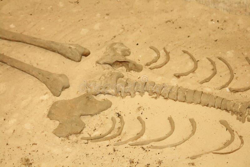 ludzki szkielet zdjęcie stock