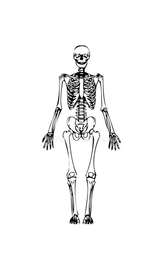 ludzki szkielet ilustracji