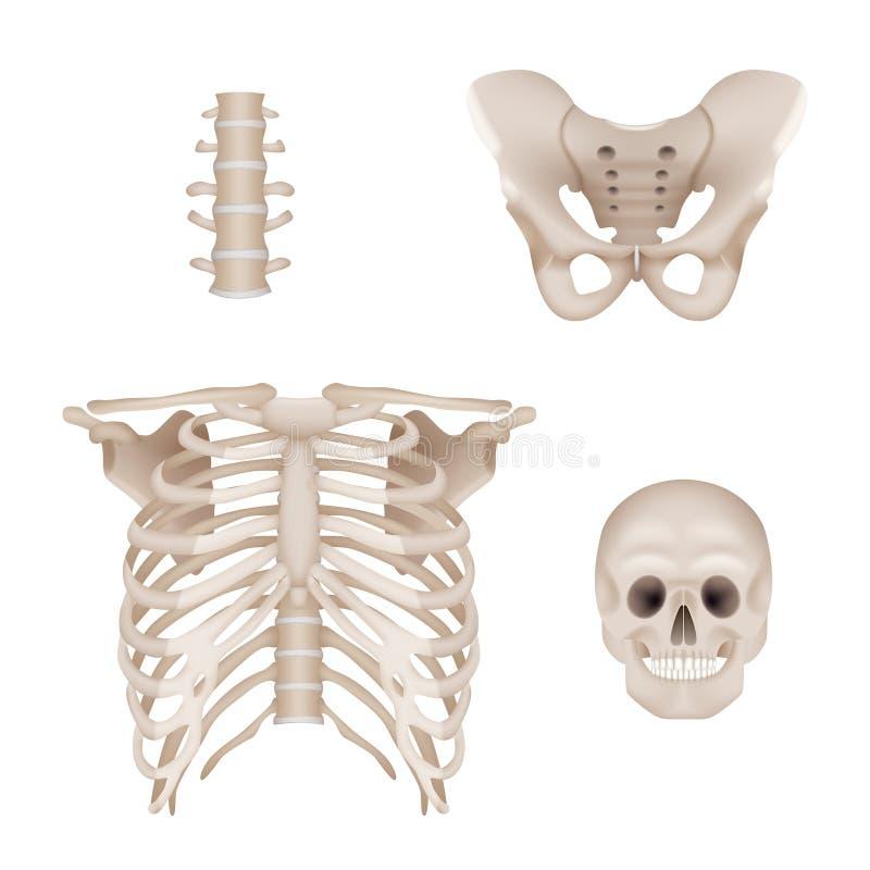 ludzki szkielet Czaszki i kości anatomia dla lekarka wektoru medycznych realistycznych obrazków ilustracji